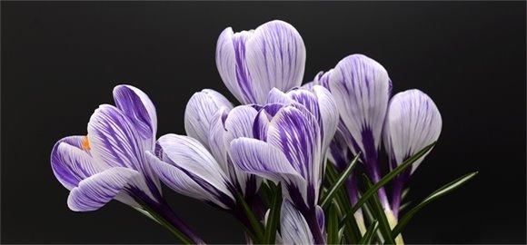 close up of purple crocuses